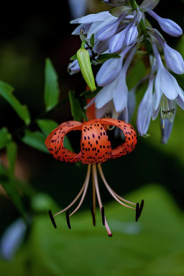 Tiger Lily by Robert Ullmann