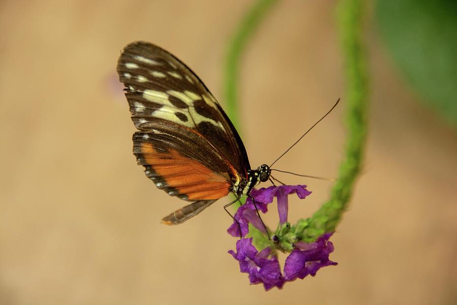 Tiger Longwing Butterfly-7 by Jennifer Wick