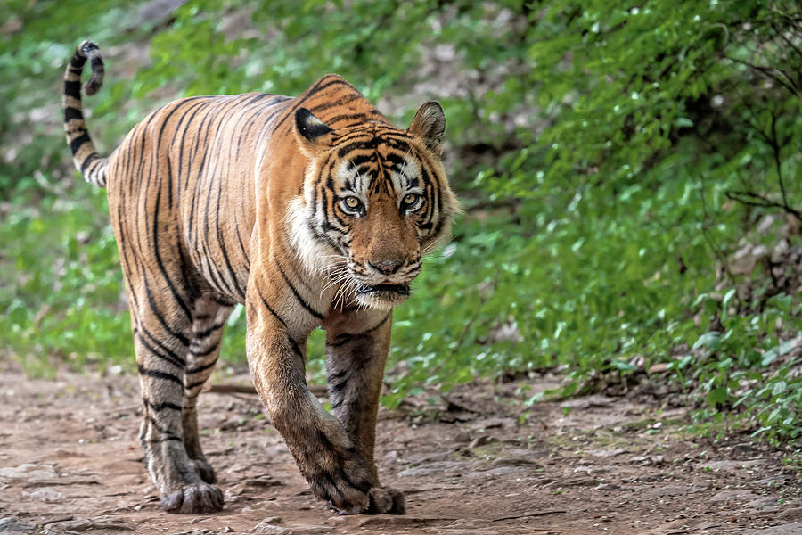 Animal Photograph - Tiger On A Stroll by Pravine Chester