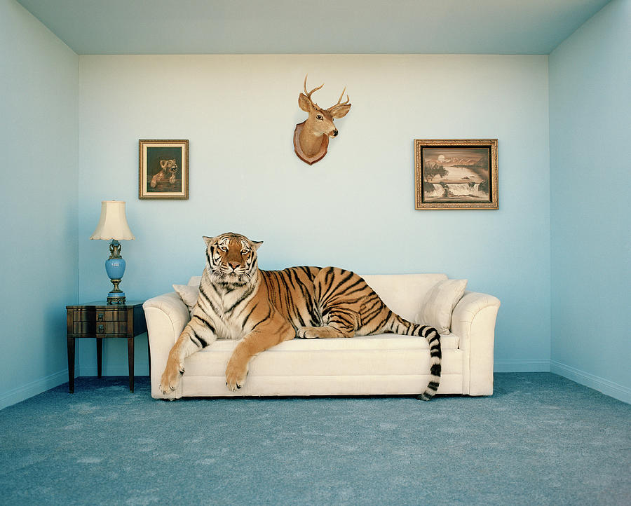 Tiger On Sofa Under Animal Trophy Photograph by Matthias Clamer
