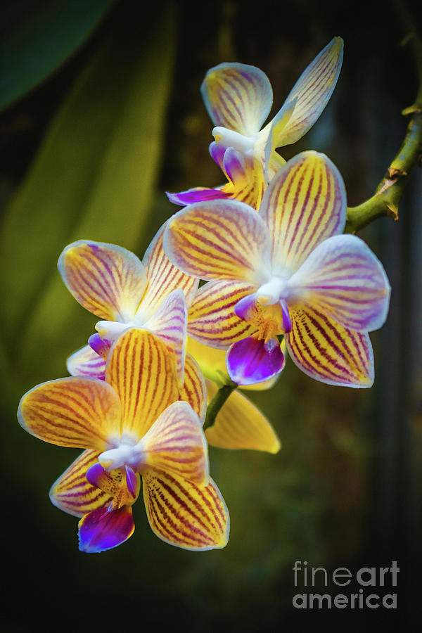 Tiger Orchids by Colleen Kammerer