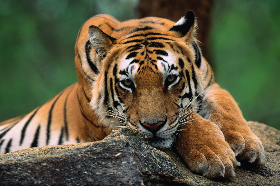 Tiger Resting On Rocky Outcrop, Close-up Photograph by Manoj Shah