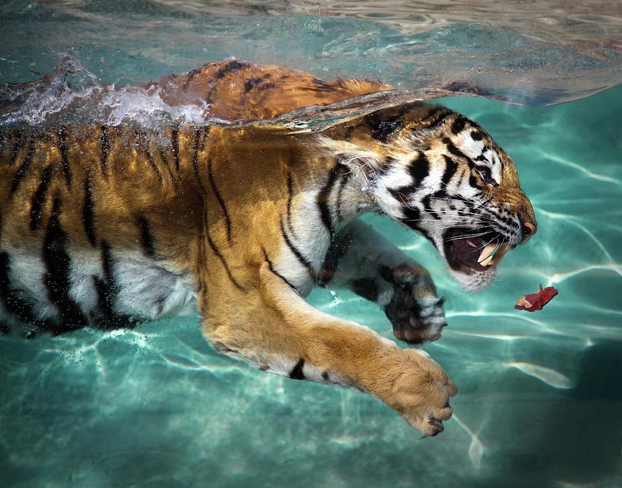 Tiger Photograph by Sean Duan