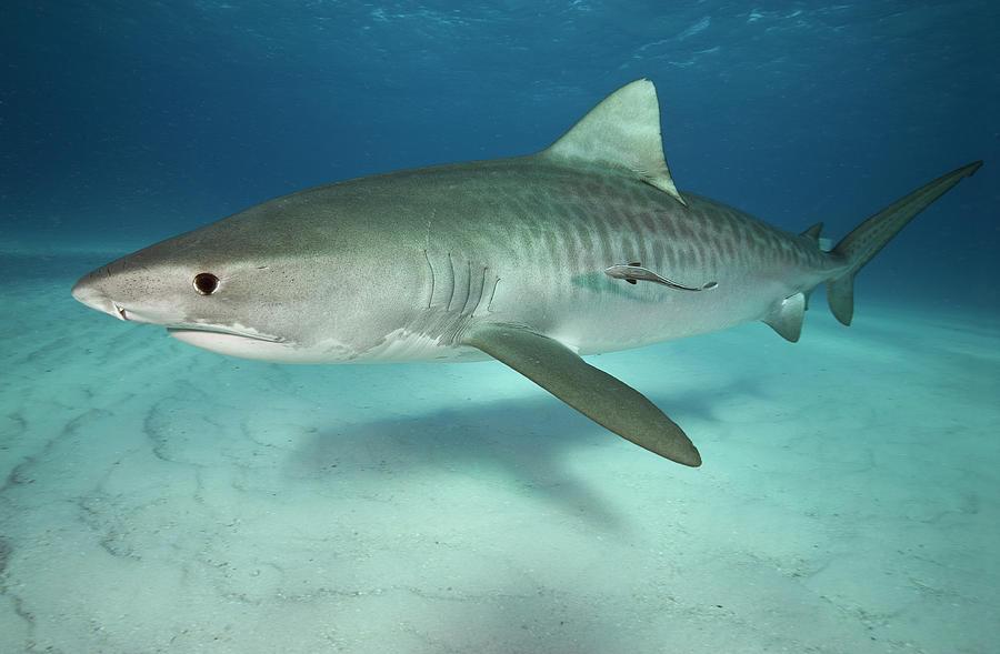 Tiger Shark On White Sand Beach Photograph by Alastair Pollock Photography