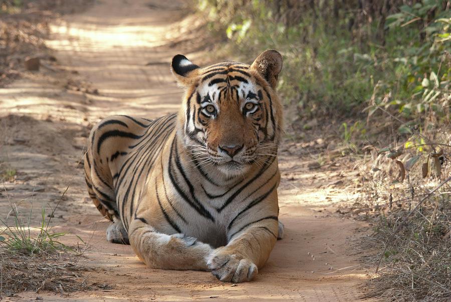 Tiger Sitting On Field Photograph by Chaithanya Krishna Photography