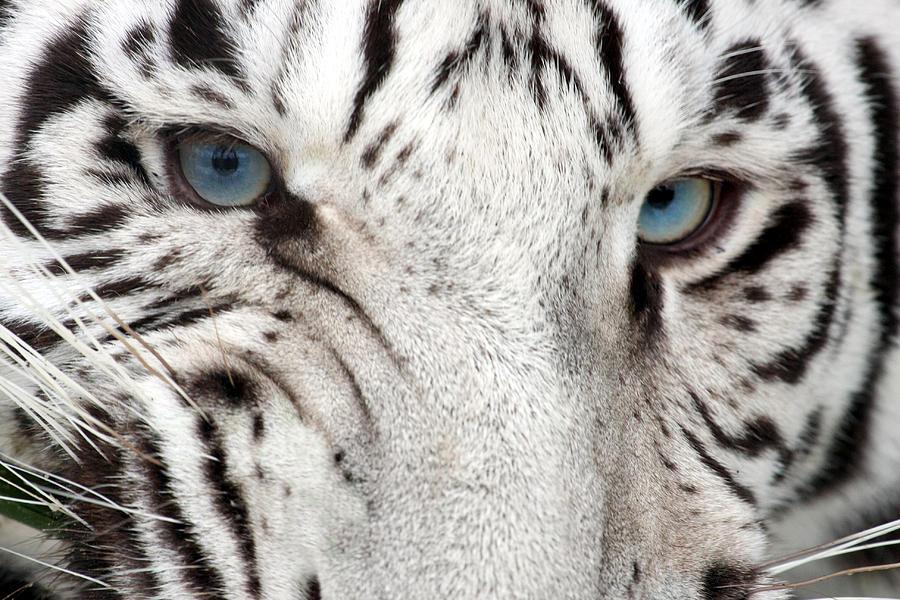 Tiger Snarl Photograph by Stephdk70