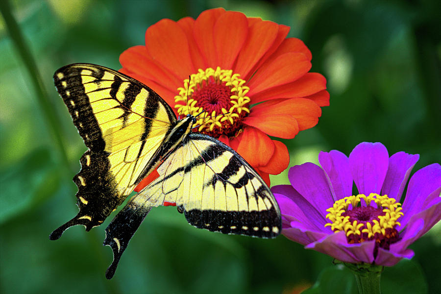 Tiger Swallow Butterfly on Zinnias by Robert FERD Frank