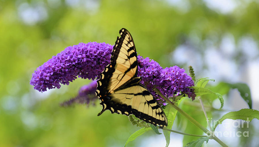 Tiger  Swallowtail 2  by Elaine Manley