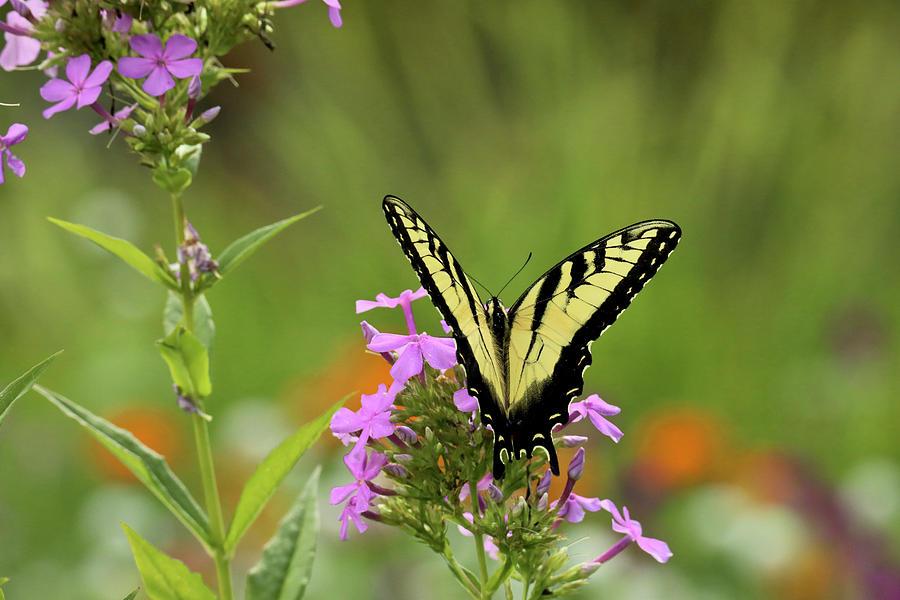 Tiger Swallowtail  by Rachel Morrison
