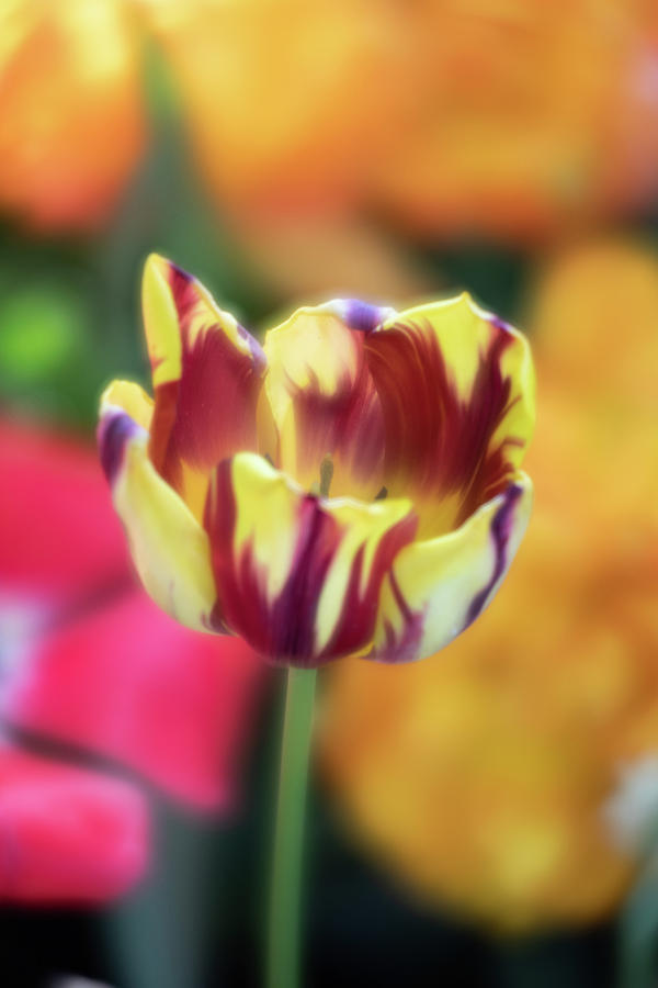 Tiger Tulip 2 by Brian Hale