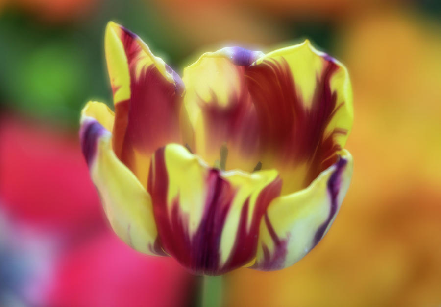Tiger Tulip by Brian Hale
