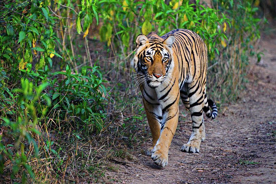 Tigress Photograph by Copyright@jgovindaraj