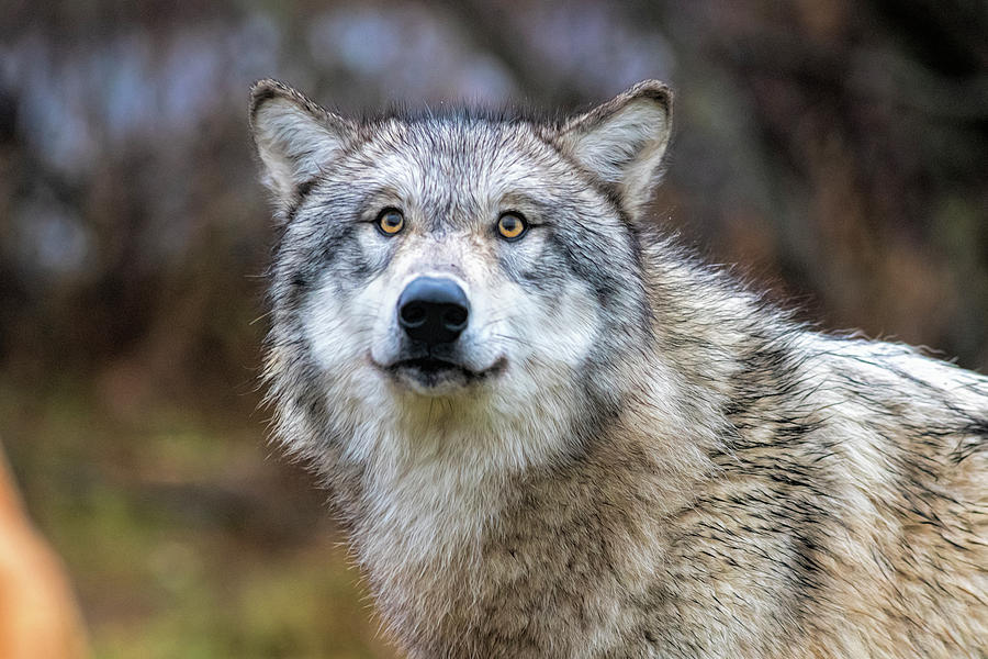 Timber Wolf With Yellow Eyes Photograph By Dan Friend