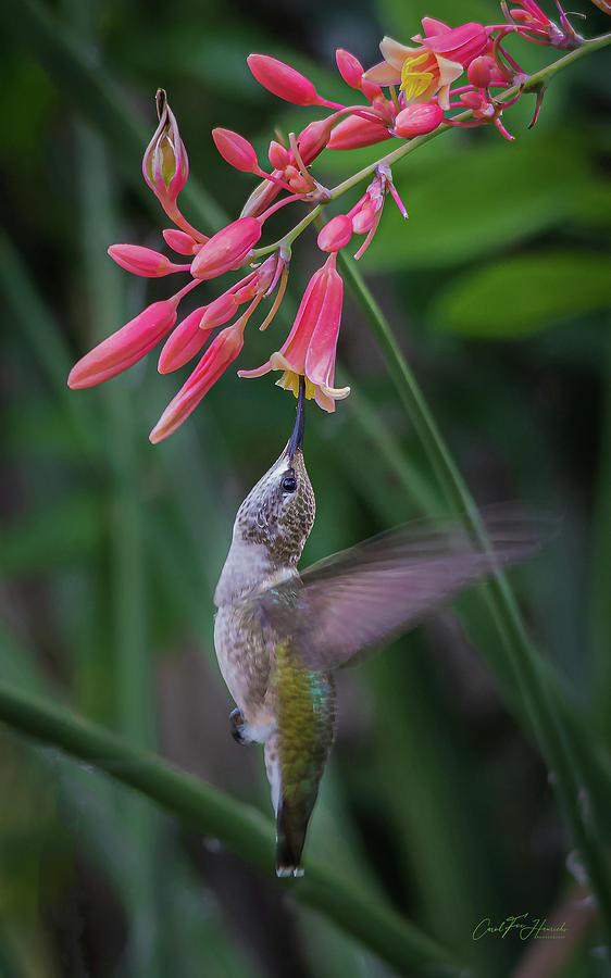 Tiny Acrobat by Carol Fox Henrichs