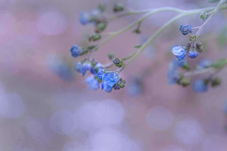 Flower Photograph - Tiny Blue Flowers by Sandi Kroll