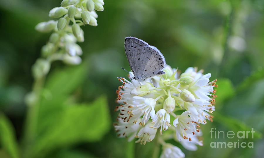 Macro Photograph - Tiny Eastern Tailed Blue Butterfly by Karen Adams