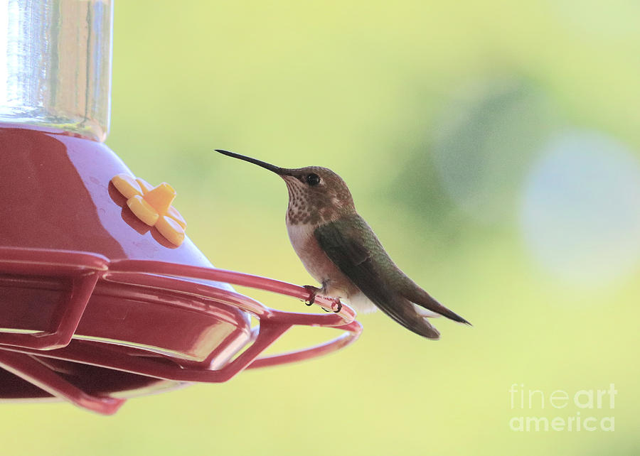 Tiny Hummingbird Friend by Carol Groenen