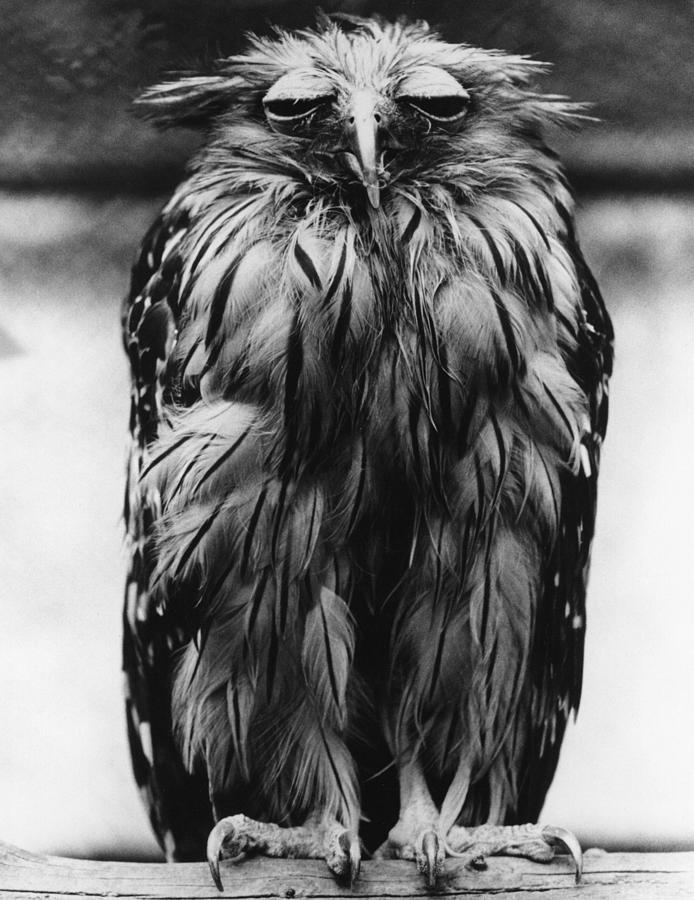 Tired Owl Photograph by Fox Photos