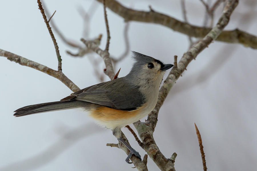Titmouse Photograph - Titmouse Winter Morning Cutie  by Betsy Knapp