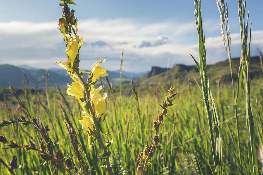 Toadflax Wildflowers Overlooking South Table Mountain by Jeanette Fellows