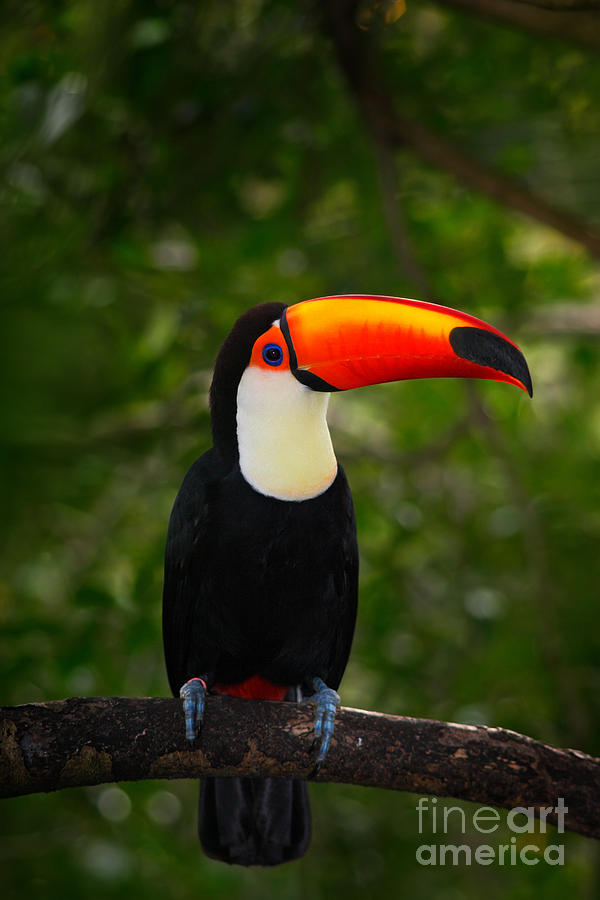 Feather Photograph - Toco Toucan, Big Bird With Orange Bill by Ondrej Prosicky