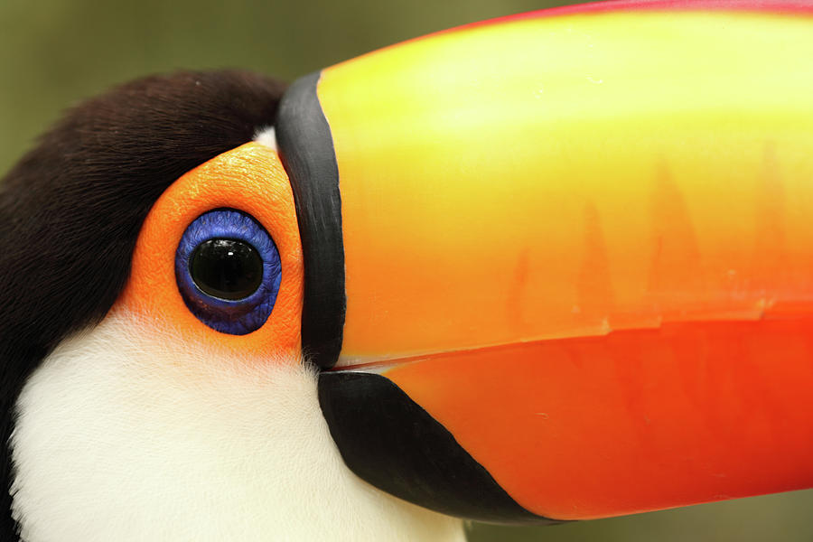 Toco Toucan Photograph by Jumper