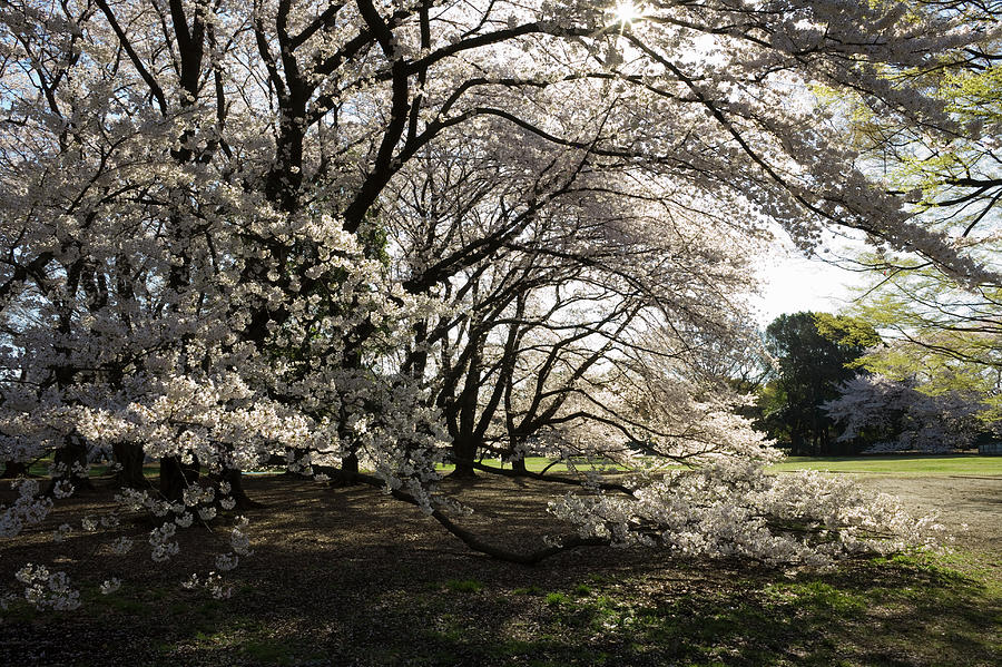 Tokyo, Japan, Cherry Tree In Bloom In Photograph by Hiroshi Watanabe