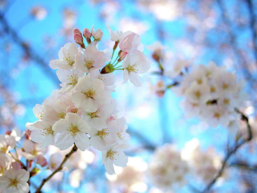 Tokyo, Sakura Photograph by Takahiro Yamamoto