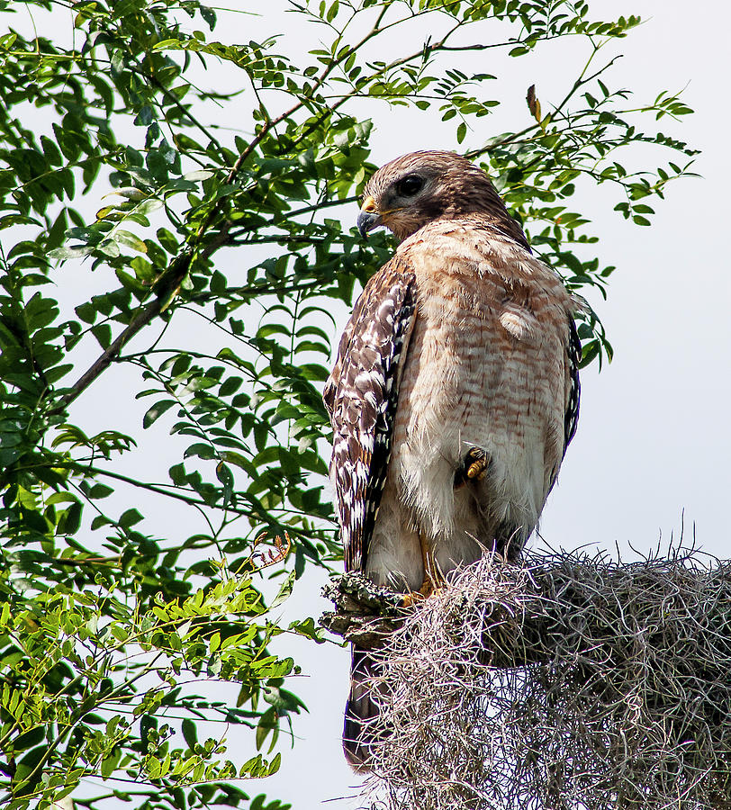 Red Shouldered Hawk Photograph - Tolerant Hawk by Norman Johnson