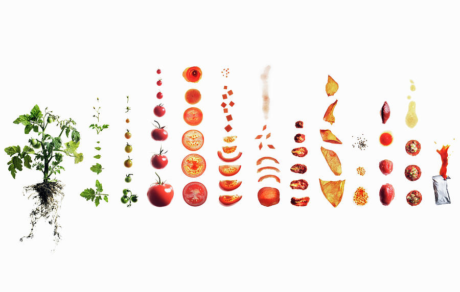 Tomato Dissection From Plant To Ketchup Photograph by Maren Caruso