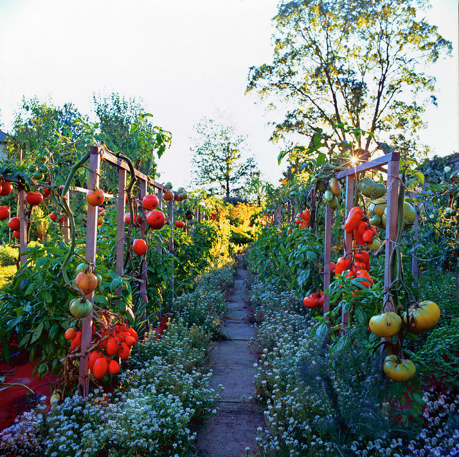 Tomatoes On Frames Photograph by Richard Felber