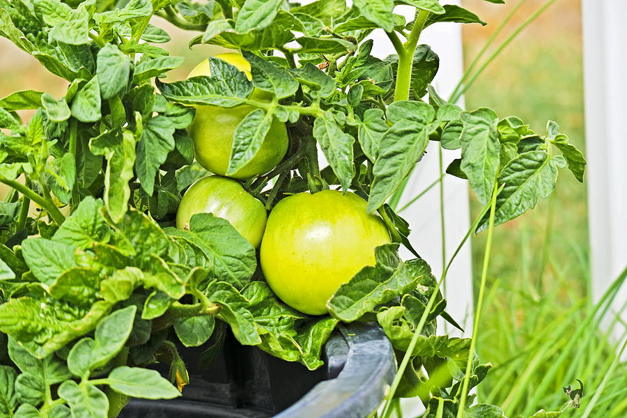 Tomatoes On The Vine by Joyce Dickens