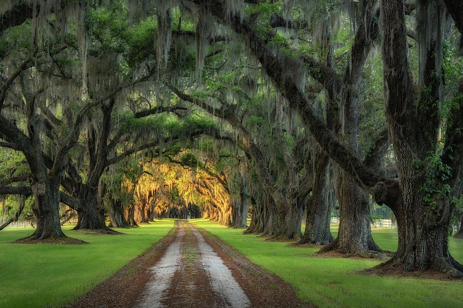 Tomotley Plantation Avenue of Oaks by Darylann Leonard Photography