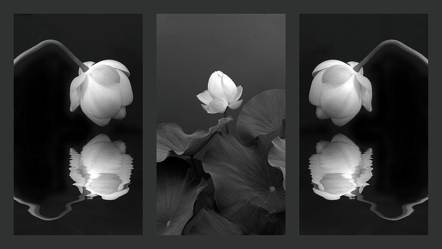 Lotus Photograph - Tonal Study Triptych by Jessica Jenney