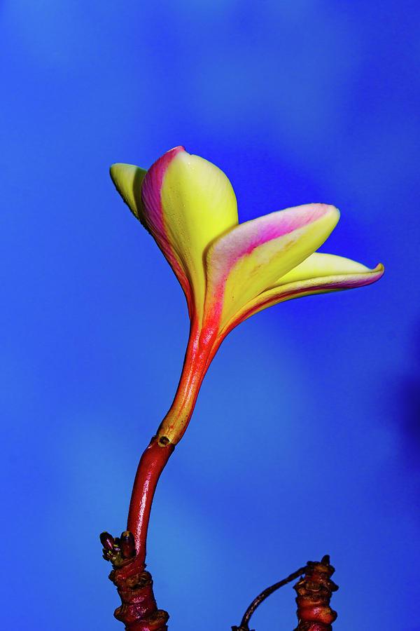 Top Plumeria Flower by John Bauer