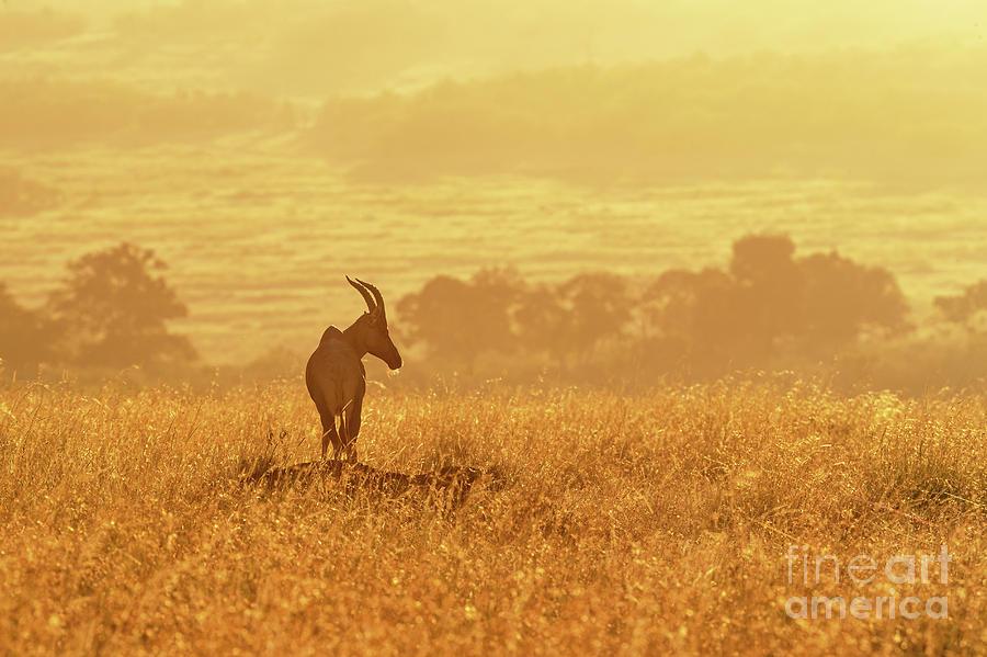 Topi in early morning sunlight by Jane Rix