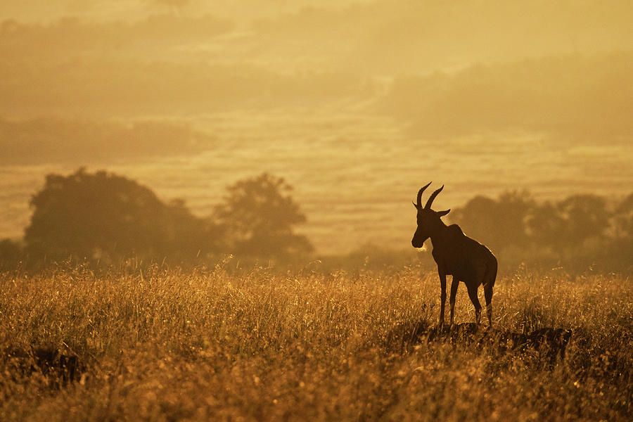 Topi on Mound in African Golden Sunrise by Susan Schmitz