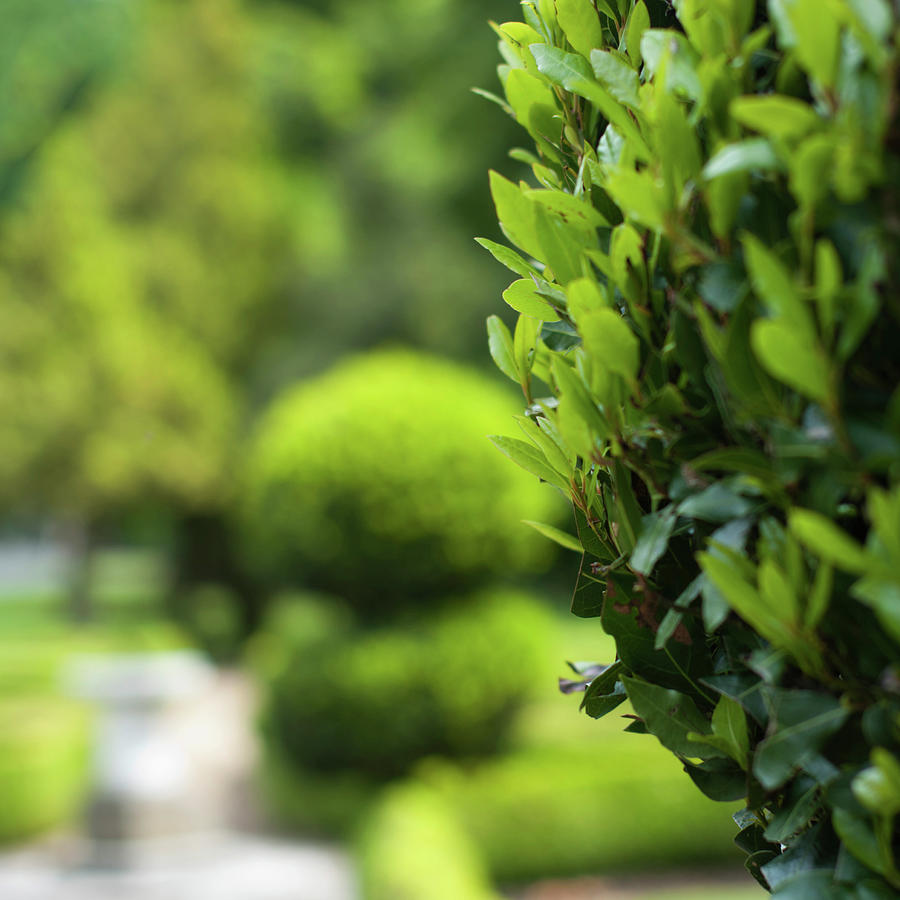 Topiary Bay Trees Photograph by Jill Ferry