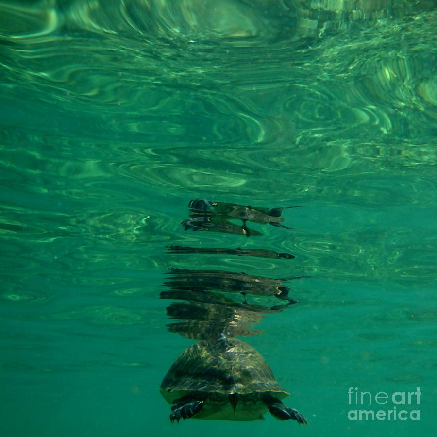 Tortoise Descending Leaves Refflections In The Layers Of Water Above by Philip and Robbie Bracco