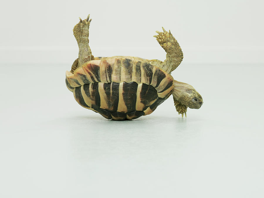 Tortoise Upside Down, Balancing On Shell Photograph by Oppenheim Bernhard