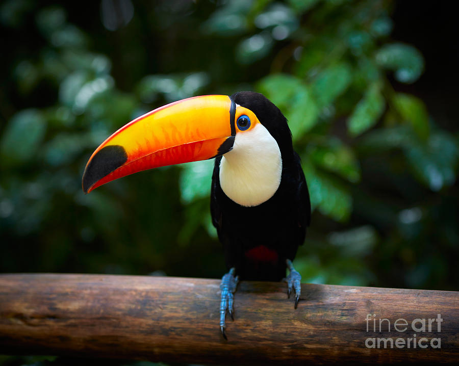Big Photograph - Toucan On The Branch In Tropical Forest by Sj Travel Photo And Video