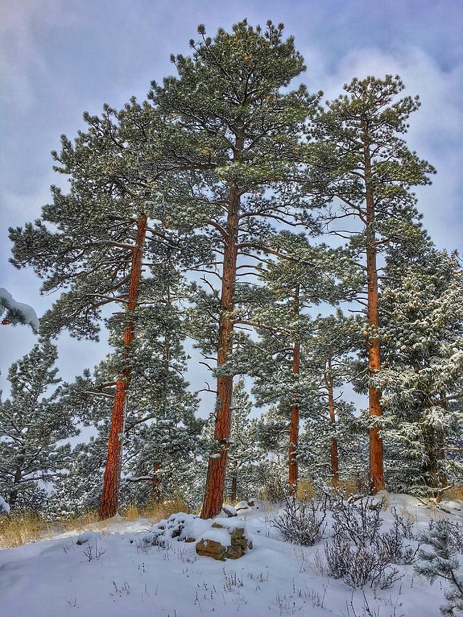 Towering Pine by Dan Miller