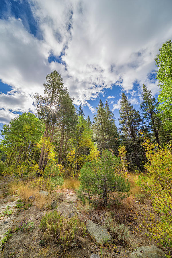 Towering Trees of Tahoe by Jonathan Hansen