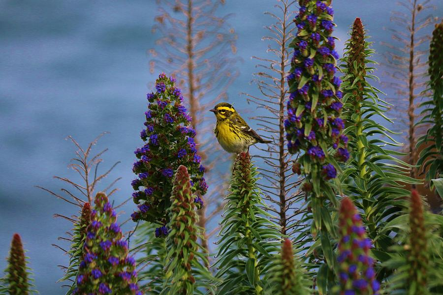 Townsend's Warbler - 2 by Christy Pooschke