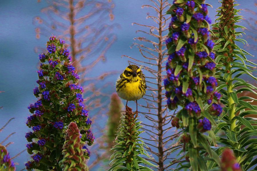 Townsend's Warbler - 5 by Christy Pooschke