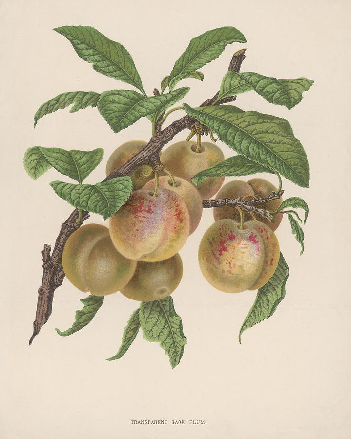 Transparent Gage Plum Photograph by Hulton Archive