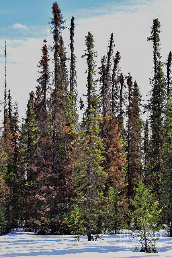 Trapper Creek Trees by Theresa Kocka