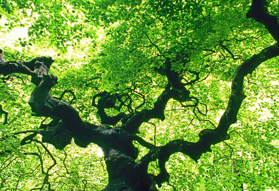 Tree At Arnold Arboretum Photograph by Richard Felber