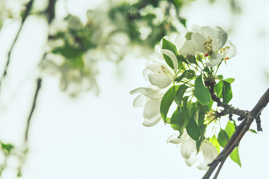 Tree Blossoms by Jeanette Fellows