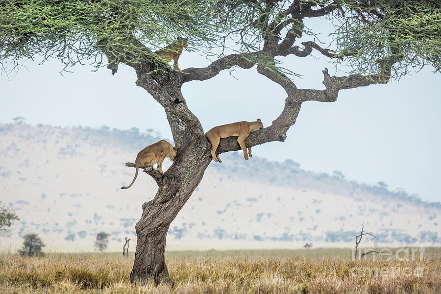 Tree Climbing Lions by Timothy Hacker
